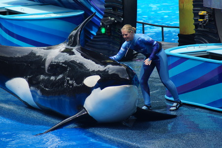 A captive performing Killer Whale - Orcinus orca Editorial