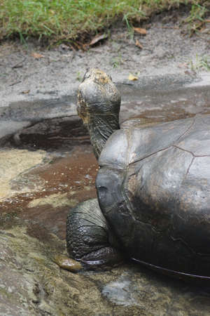 animalia: A large wild Galapagos Tortoise - Chelonoids nigra Stock Photo