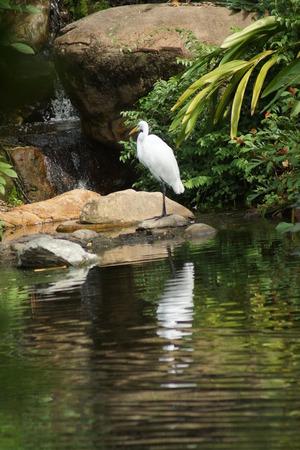 animalia: A large wild Great Egret - Ardea alba