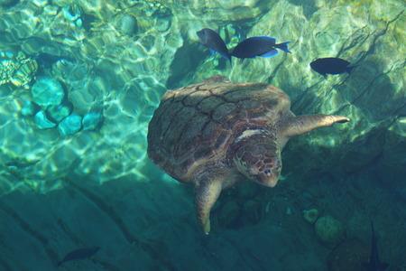 animalia: A large Loggerhead Sea Turtle - Caretta caretta