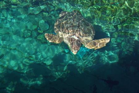 reptilia: A large Loggerhead Sea Turtle - Caretta caretta