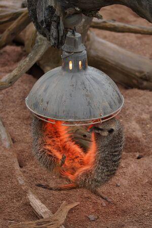 suricata suricatta: Within the clan of Meerkat - Suricata suricatta