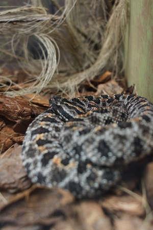 serpiente de cascabel: Cerca de una serpiente de cascabel de Mojave - scutulatus Crotalus