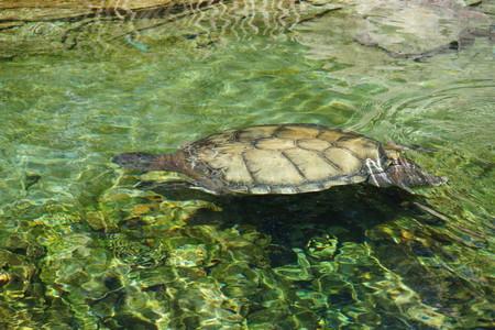 chelonia: A large Loggerhead Sea Turtle - Caretta caretta