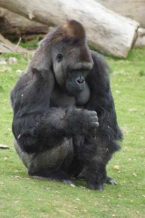 western lowland gorilla: A Western Lowland Gorilla Stock Photo