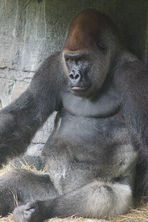 hominid: A large Western Lowland Gorilla - Gorilla gorilla gorilla