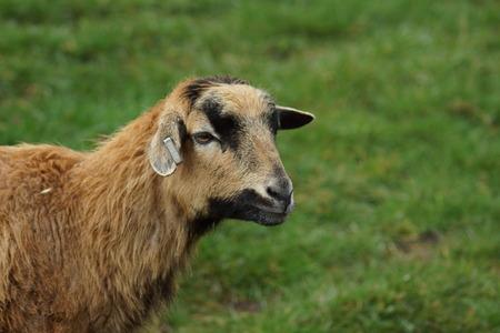 bovid: Cameroon Sheep - Ovis aries - breed of domestic sheep Stock Photo