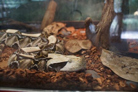 viper: A West African Gaboon Viper - Bitis gabonica rhinoceros Stock Photo