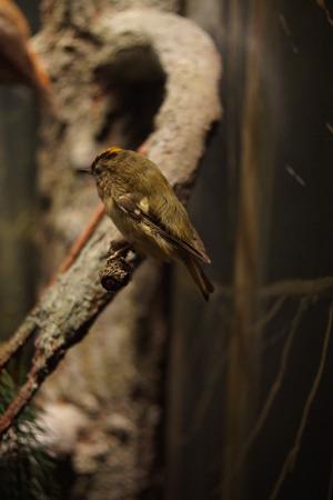 perching: A small perching wild native Goldcrest - Regulus regulus