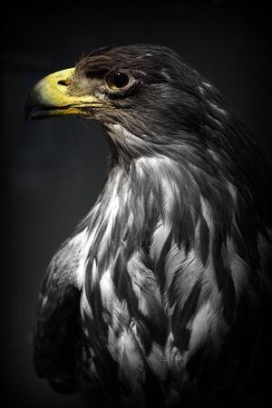 yellow tailed: Portrait of a large White-tailed Eagle - Haliaeetus albicilla Stock Photo
