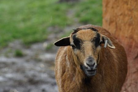 toed: Cameroon Sheep - Ovis aries - breed of domestic sheep Stock Photo