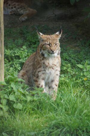 lince: Un salvaje de los C�rpatos Lynx - Lynx lynx carpathicus