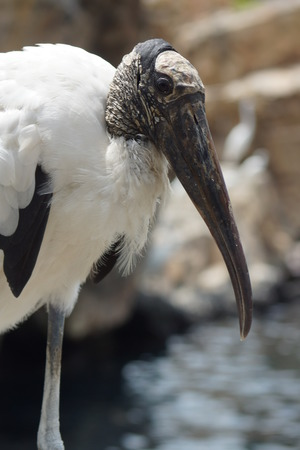 americana: A close-up image of a Wood Stork - Mycteria americana