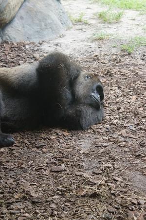 hominid: A large sleeping Western Lowland Gorilla - Gorilla gorilla gorilla