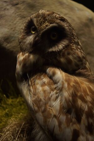 nocturnal: A native nocturnal wild Short-eared Owl - Asio flammeus Stock Photo