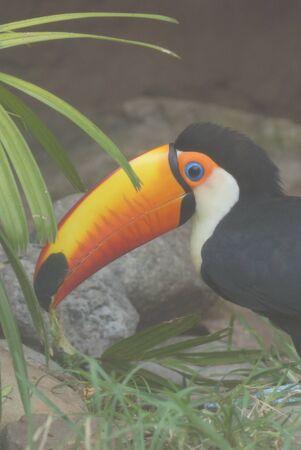 animalia: A large wild Toco Toucan - Ramphastos toco