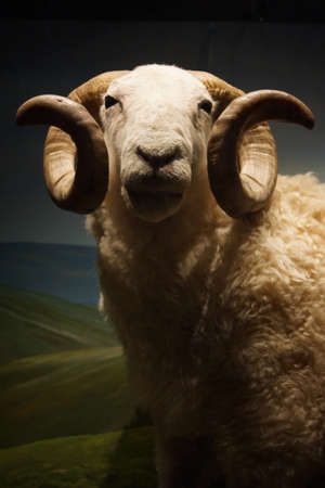 aries: A Wild White-faced Woodland Sheep Ram - Ovis aries