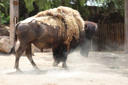 Inside a herd of American Bison - Bison bison Stock Photo