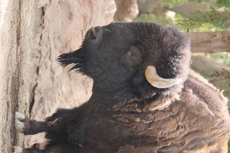 Inside a herd of American Bison - Bison bison