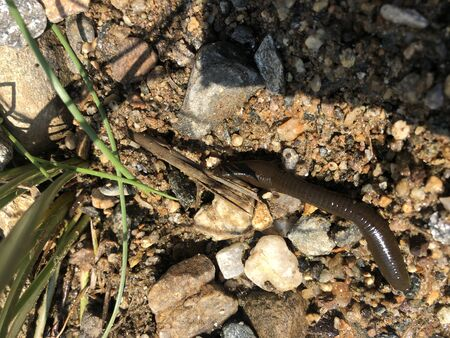 A wild Horse Leech - Haemopis sanguisuga on land