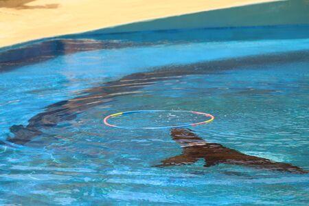 A California Sea Lion Show - Zalophus californianus