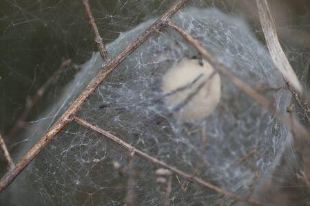 Through the web of a European Nursery Web Spider - Pisaura mirabilis