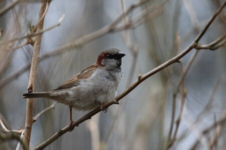A House Sparrow - Passer domesticus