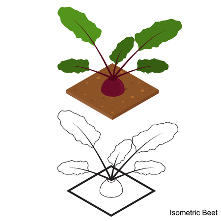 edible: Isometric beets. Ripe delicious and healthy beetroot. The purple vegetable. Healthy eating. Vegetarian food. Beets in the garden. Edible raw plant. Vector illustration.