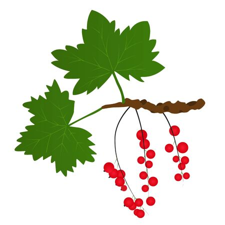 Branch of red currants with leaves. Bright juicy and tasty berry. Healthy raw food. Vector illustration. Isolated on white background. Illustration
