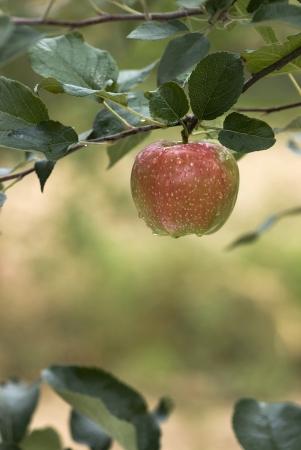 apfelbaum: Roter Apfel auf einem Ast