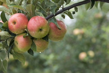 apple orchard: A group of red apples on a branch