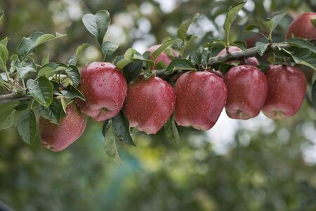 A line of red apples photo
