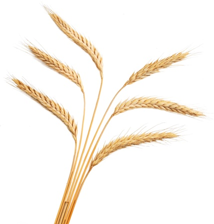 fascicle: Isolated bunch of golden wheat ears