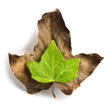 dead leaf: Green leaf with water drops on a dryed leaf symbolizing vitality