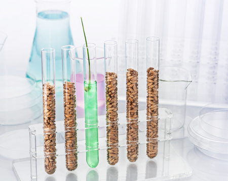 test tube holder: Genetically modified wheat. Wheat seedlings growing inside of test tube