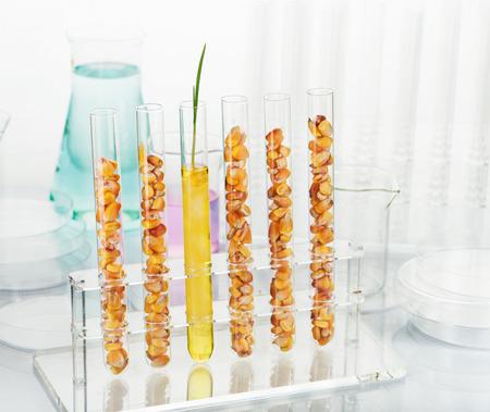 Genetically modified corn. Corn seedlings growing inside of test tube