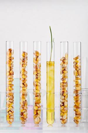 Genetically modified corn. Corn seedlings growing inside of test tube photo