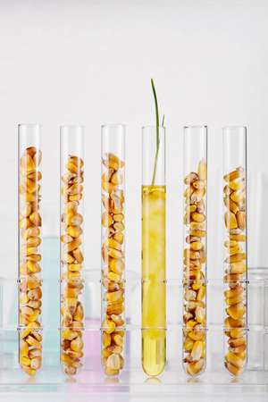 Genetically modified corn. Corn seedlings growing inside of test tube photo