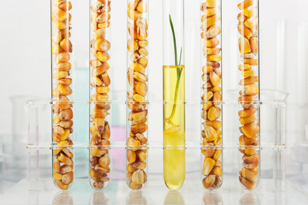 test tube holder: Genetically modified corn. Corn seedlings growing inside of test tube