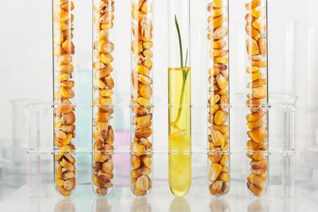genetically modified: Genetically modified corn. Corn seedlings growing inside of test tube