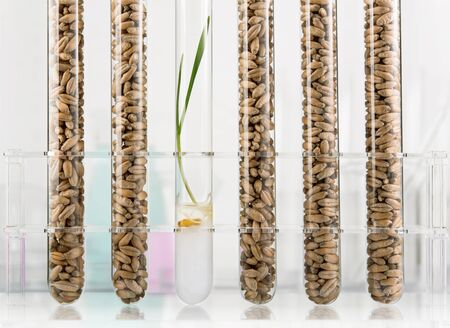 Genetically modified wheat. Wheat seedlings growing inside of test tube photo