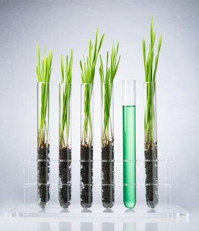 probeta: Trigo genéticamente modificado. Plántulas de trigo que crecen dentro del tubo de ensayo