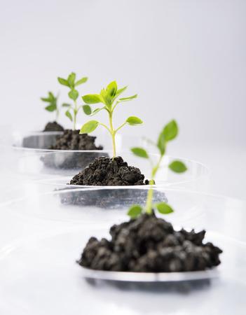 Seedling growing in petri dish in laboratory photo