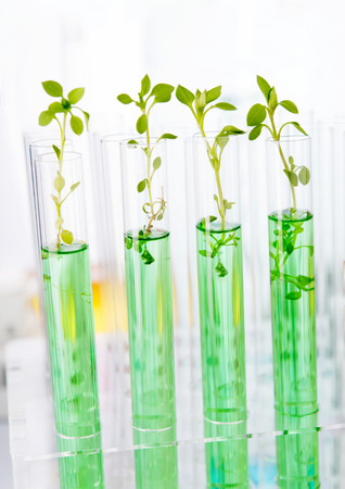 scientific farming: Genetically modified plants. Plant seedlings growing inside of test tubes