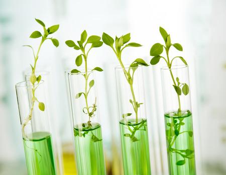 遺伝子組み換え作物。試験管の中で成長している苗木を植える 写真素材