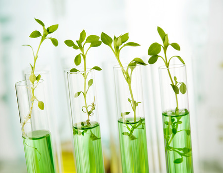 beakers: Genetically modified plants. Plant seedlings growing inside of test tubes