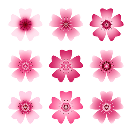 april flowers: Flat color set Sakura or cherry blossoms in pink. Isolated on white background. Illustration