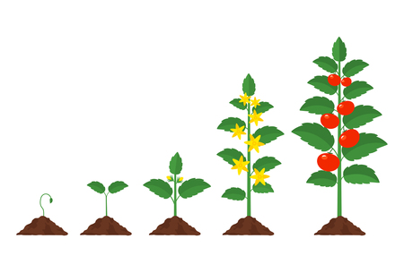 The cycle of vegetable growth in the garden. Seedlings of a tomato from seed to fruit. The concept of garden and farm, eco products. Vector illustration in a flat style