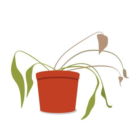 Trocknende Hausblume in einem Topf. Die tote Pflanze. Schwarzweiss-Hintergrund
