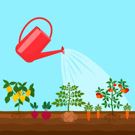 the vegetable beds are watered by a garden watering can. garden concept. vector illustration